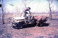 old photograph of man on a jeep pulling a cow in country