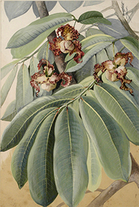 Painting of Monotora Myristica by Ellis Rowan